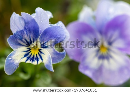 Close up of a blue pansy flower that has been partly eaten by pests