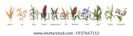 Cereal plants such as barley, rye, corn, buckwheat, flax, oat, proso, quinoa, rice, siberian millet and sorghum. Spikelets of organic crops. Colored vector illustration isolated on white background Royalty-Free Stock Photo #1937667112