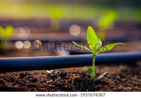 Green seedlings growing in the drip system. Royalty-Free Stock Photo #1937674387