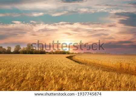 Golden wheat field on the background of hot summer sun and blue sky with white clouds.Ground road leaving to the horizon. Beautiful summer landscape. Royalty-Free Stock Photo #1937745874