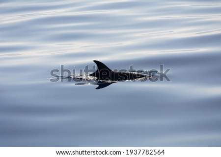 Bottlenose dolphin silhouette (Tursiops truncatus). Picture taken during a whale watching trip