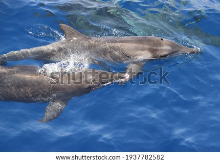 Rough toothed dolphin (Steno bredanensis). Picture taken during a whale watching trip.