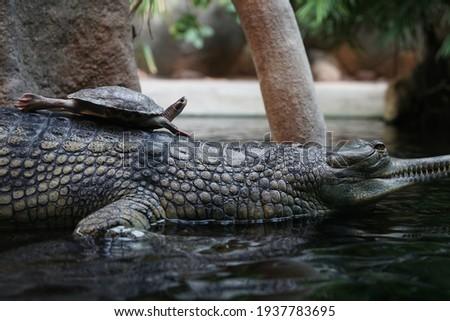 Small turtle sitting on crocodile, rare cute picture in nature close-up