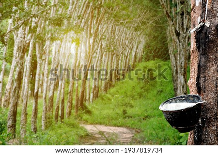 Rubber plantation After harvest in southern Thailand selective focus Royalty-Free Stock Photo #1937819734