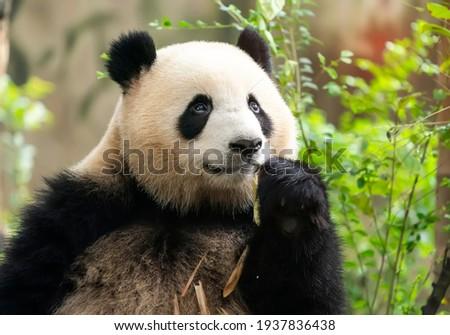 Panda eating shoots of bamboo. Rare and endangered black and white bear. Royalty-Free Stock Photo #1937836438