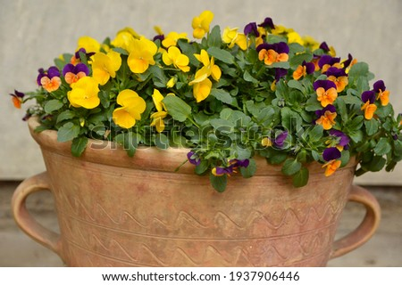 colorful pansy flowers growing in the flower pot