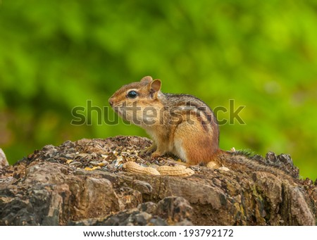 A Chipmunk perched on a tree stump with bird seed and peanuts. #193792172