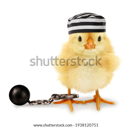 Cute cool chick prisoner jailbird with striped cap and fetter funny conceptual image  Royalty-Free Stock Photo #1938120751