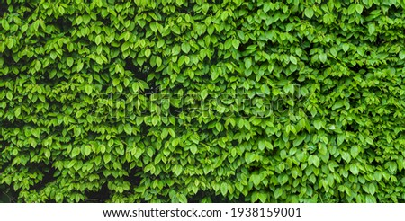 Green shrub hedge, fresh green leaves for texture background. Lush vegetation close-up, horizontal photo. Royalty-Free Stock Photo #1938159001