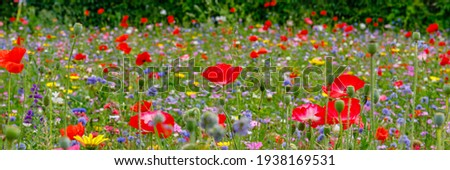 Multicolored flowering summer meadow with red pink poppy flowers, blue cornflowers.  Wild summer flowers field. Summer landscape background with beautiful flowers. Banner Royalty-Free Stock Photo #1938169531