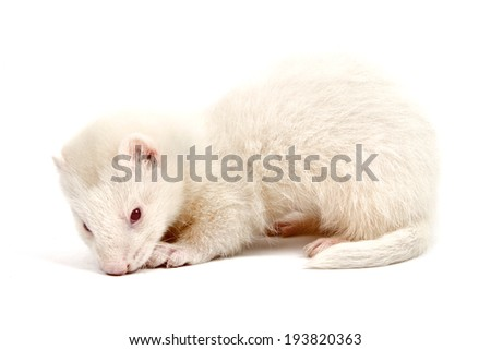Albino ferret, lying on a white background Isolated on white background #193820363