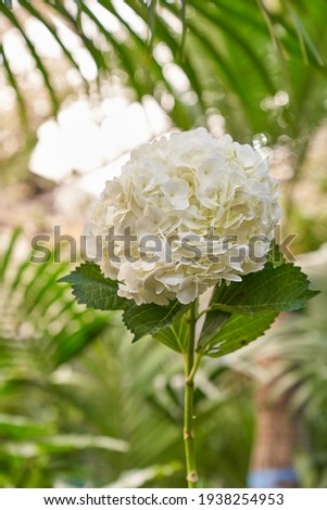 This is a picture of white hydrangea in the garden.
