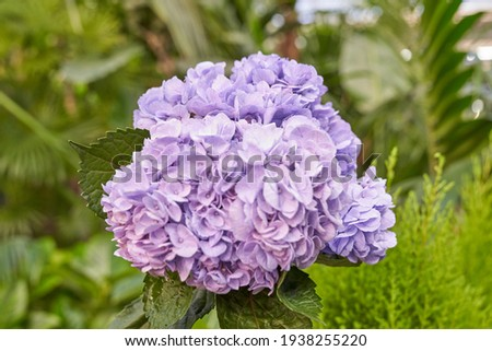 This is a picture of purple hydrangea in the garden.