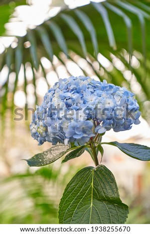 This is a picture of blue hydrangea in the garden.