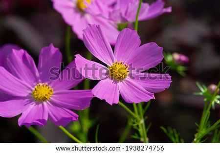 Cosmos flowers is the Greek word for harmony, or an ordered universe, and is the exact opposite of chaos to describe the wild explosion of color these attractive flowers bring to a home landscape.