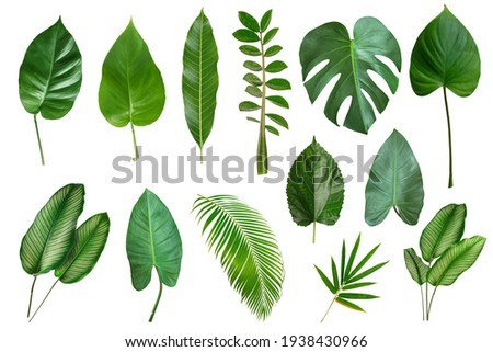 Set of Tropical leaves isolated on white background. Beautiful    tropical exotic foliage Royalty-Free Stock Photo #1938430966
