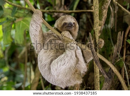 A young Brown-throated three-toed sloth is climbing slowly at a branch downwards