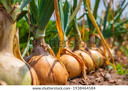 Onion ripe plants growing in field, close up. Harvesting background with onion bulbs, closeup.  Royalty-Free Stock Photo #1938464584