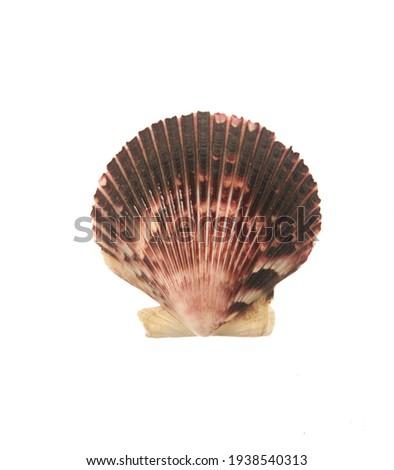 Pectinida Seashell, saltwater clams, marine bivalve molluscs, Scallop,  bivalve mollusk, on white background Royalty-Free Stock Photo #1938540313