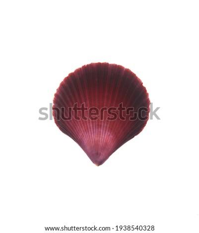 Pectinida Seashell, saltwater clams, marine bivalve molluscs, Scallop,  bivalve mollusk, on white background Royalty-Free Stock Photo #1938540328