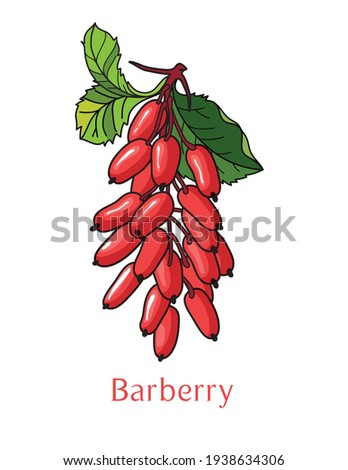 Vector logo for japanese Barberry: branch of fresh red glossy berries with green leaves and pink title text - barberry, isolated on white background. Royalty-Free Stock Photo #1938634306