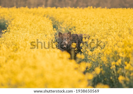 Wild boar ( Sus scrofa ) in wild nature during spring morning in oilseed rape. Usefull for hunting magazines or news. Colorulf picture of wild animal.  Royalty-Free Stock Photo #1938650569
