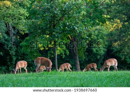 Kansas City, Kansas.  White-tailed deer, Odocoileus virginianus.  A herd of White-tailed deer grazing in Wyandotte County Lake Park. Royalty-Free Stock Photo #1938697660