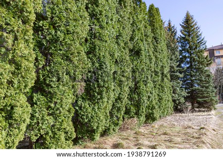 Examples of landscaping with conifers in the city and park. Conifers in landscaping and urban landscaping. Royalty-Free Stock Photo #1938791269