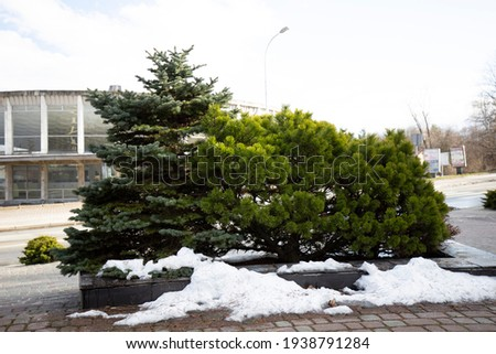 Examples of landscaping with conifers in the city and park. Conifers in landscaping and urban landscaping. Royalty-Free Stock Photo #1938791284