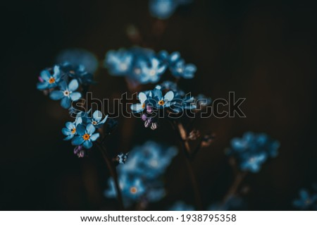 Forget-me-not. Blue flower. Macro photography.