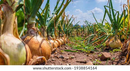 Onion plants growing on field, close up. Harvesting background with onion bulb, closeup.  Royalty-Free Stock Photo #1938854164