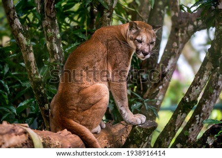 Puma photographed in captivity in Goias. Midwest of Brazil. Cerrado Biome. Picture made in 2015.