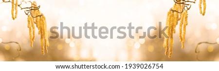 Spring pollen flight, pollen allergy background banner panorama - Common hazel, hazelnut shrub tree ( Corylus avellana ) with pollen catkins and yellow flower pollen, illuminated by the sun  Royalty-Free Stock Photo #1939026754