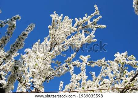 Looking up we see the branches of a prunus cerasifera (also called cherry-plum) full of white flowers. The branches seem covered with snow. The blue sky is the background of the photo. Spring in Italy