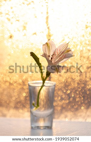 White alstroemeria flower in a glass of water against a background of golden bokeh from water drops at sunrise, free space