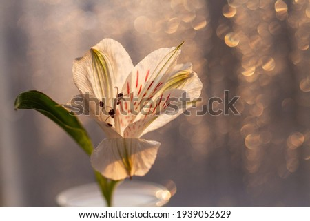 Spring white flower close-up against the background of water drops and dawn. Alstroemeria. Free place.