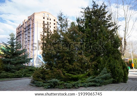 Examples of landscaping with conifers in the city and park. Conifers in landscaping and urban landscaping. Royalty-Free Stock Photo #1939065745