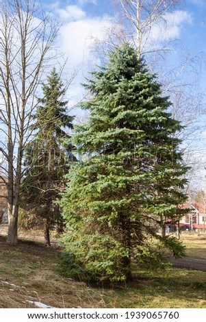 Examples of landscaping with conifers in the city and park. Conifers in landscaping and urban landscaping. Royalty-Free Stock Photo #1939065760