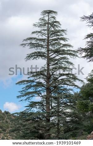 Blue Atlas Cedar (Cedrus Atlantica) trees in their natural habitat in Belezma national park, Batna, Algeria Royalty-Free Stock Photo #1939101469