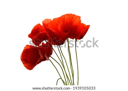 red poppies on a white background, red flowers, summer, poppy