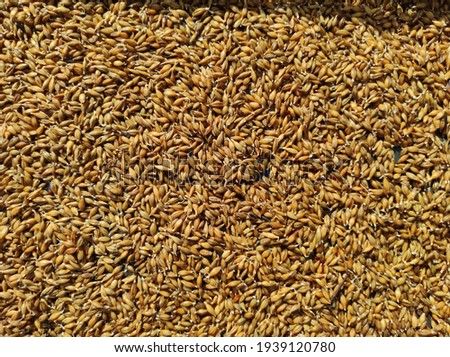 Day one germinated barley seed for hydroponic fodder Royalty-Free Stock Photo #1939120780