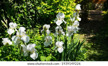 White Iris germanica or Bearded Iris on the background of bright green landscaped garden. Beautiful white very large head of iris. Selective focus