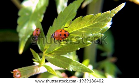 Close up shot of bright red ladybugs on green leaves during the daytime in the start of a beautiful Spring season.