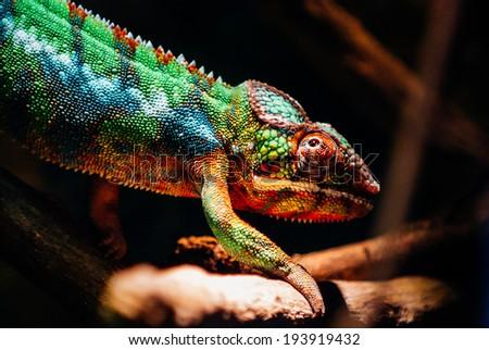 Chameleon #193919432