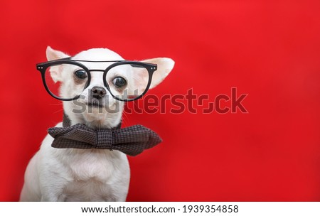 A dog in glasses and a bow tie is taking pictures of the camera while posing against a red background. Little smart chihuahua white in the studio.