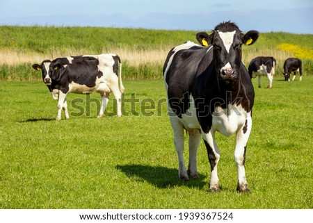Black and white Holstein Friesian cattle cows grazing on farmland. Royalty-Free Stock Photo #1939367524