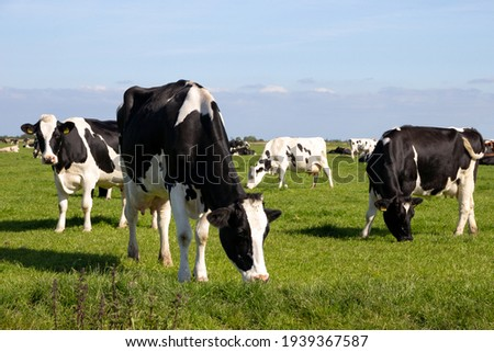 Black and white Holstein Friesian cattle cows grazing on farmland. Royalty-Free Stock Photo #1939367587