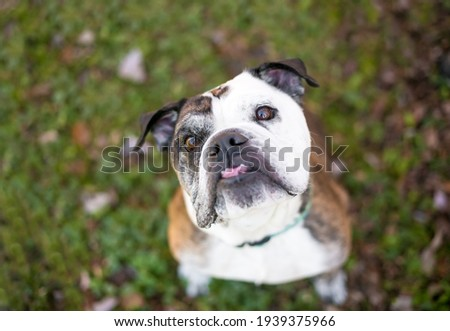 A purebred English Bulldog with an underbite sitting outdoors and looking up at the camera with a head tilt Royalty-Free Stock Photo #1939375966