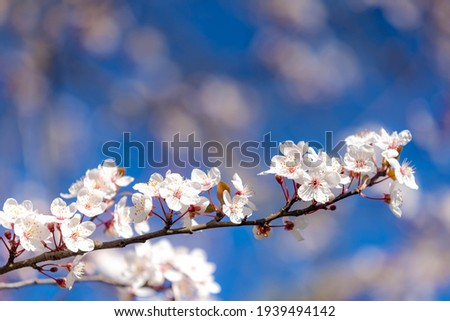 Selective focus of beautiful branches of white Cherry blossoms on the tree under blue sky, Beautiful Sakura flowers during spring season in the park, Flora pattern texture, Nature floral background. Royalty-Free Stock Photo #1939494142