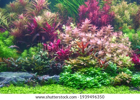 Colorful aquatic plants in aquarium tank with Nature Dutch style aquascaping layout Royalty-Free Stock Photo #1939496350